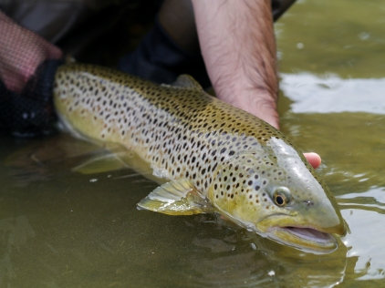 Spanish brown trout