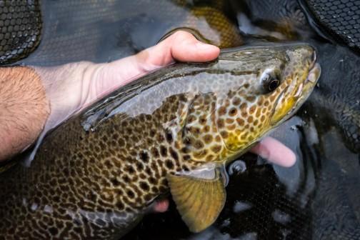 orbigo trout head