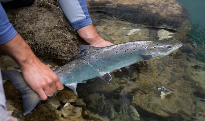 spanish salmon