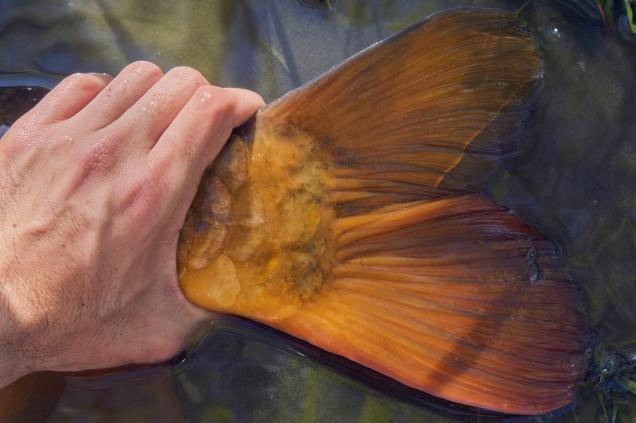 carp tail