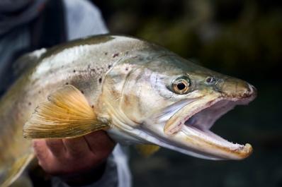 NZ trout head